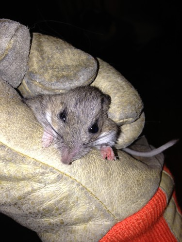This is a mouse that one of my cats brought in last night from the cold.  It was a catch and release program.  They are more interested in the catch than the eating it seems.