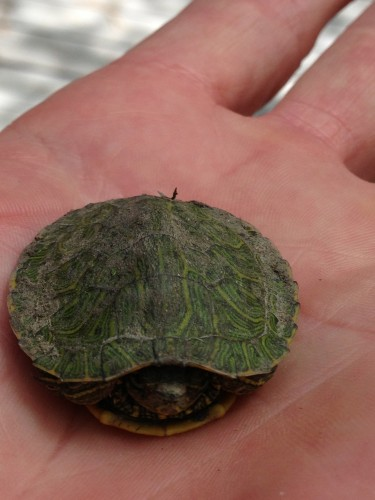 I did have the good fortune of finding this small turtle on the bike path on the way to White Rock.  I dropped him into the creek.