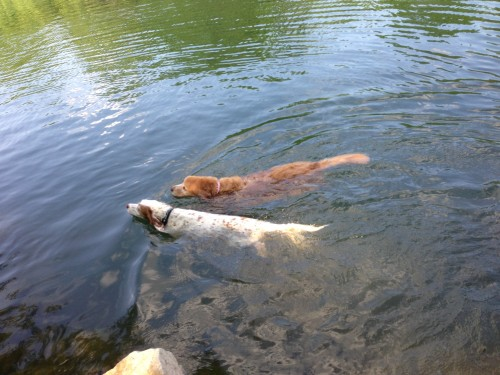 Bromont and Stanley swimming at the dog park on Redbud.
