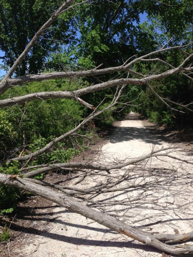 One of the trees down on the trail.  I guess it was fortuitous that I didn't get smashed by this one.