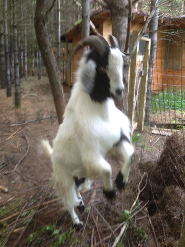 My friend George Welk's goat.