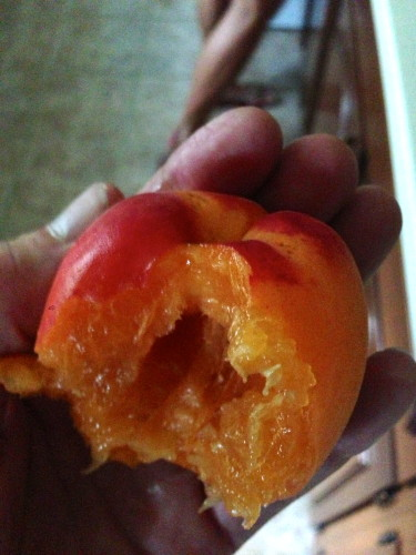 The huge apricot.  Pretty great.