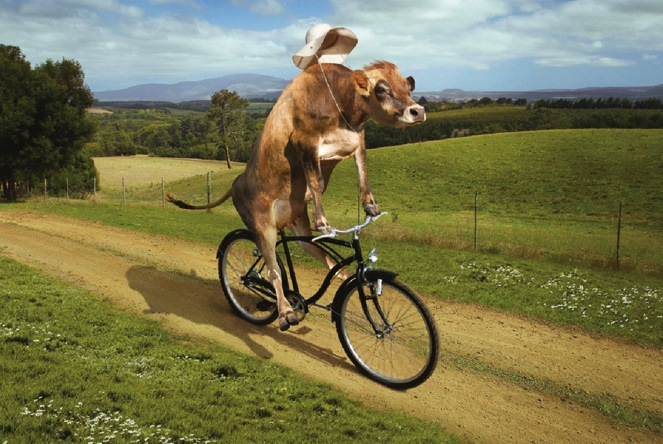 cow-on-bike1