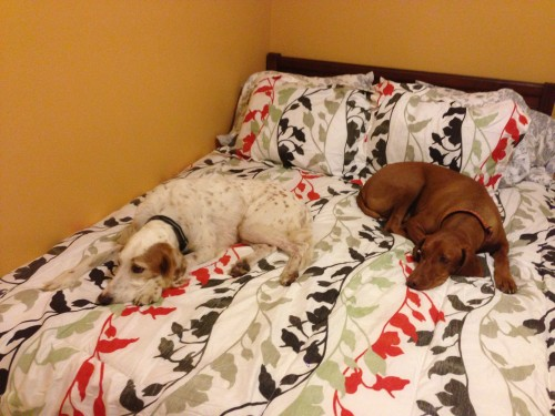 No place for me to sleep with Bromont and Jack hogging the bed.