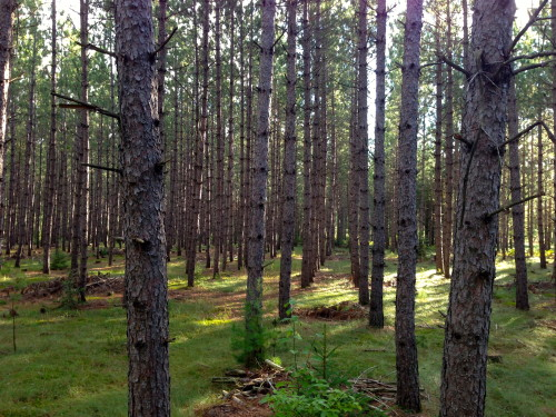 I like repetition in things, especially in nature, even though a tree farm might not be considered nature by some.