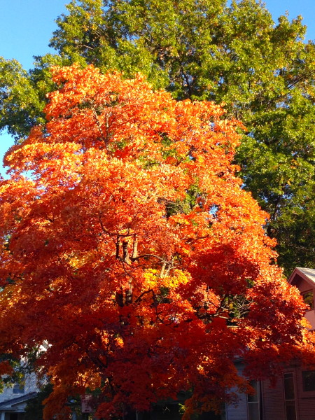 The Maple trees are looking good this year.