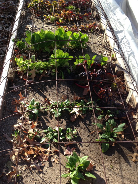 It's been so warm that we're still eating lettuce and spinach for our garden.  We cover it at night.