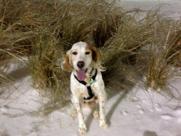 Bromont all tuckered out from his coyote chase, looking all happy in front of the frozen grass.