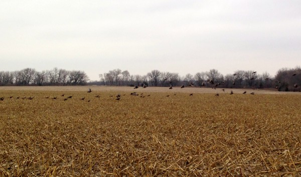 Here is the first flock of turkeys.  If you enlarge the picture, by clicking, so you see how many are already flying.