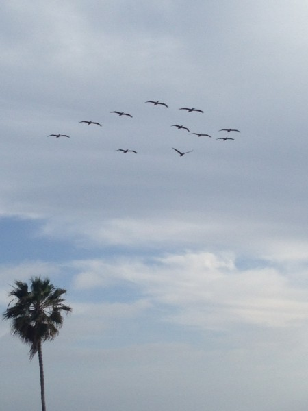 These pelicans were flowing me up and down the coast the other day.