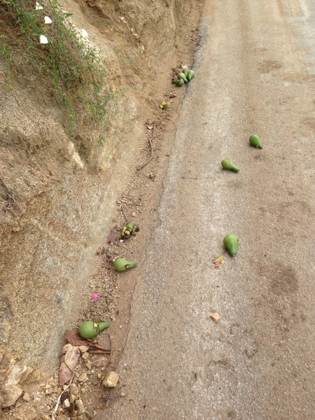 I stopped an picked up a few avocados on the road while climbing Couser.