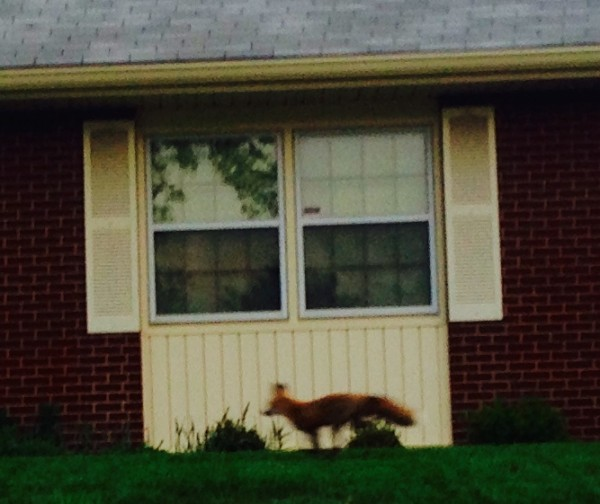 The fox in the morning.