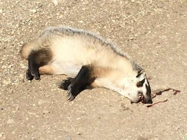 I don't usually put pictures of dead animals on here much, but you don't see many badgers in Kansas.