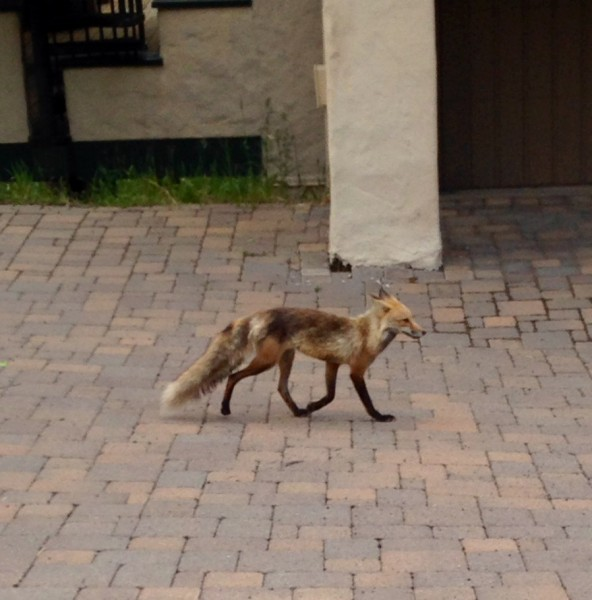 This fox was walking across the street last evening.