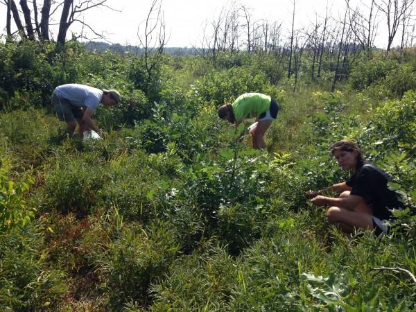 Blueberry picking.