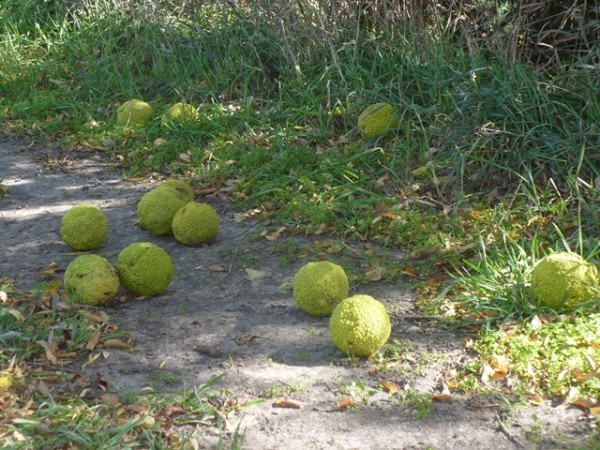 Hedge apples are everywhere around Northeastern Kansas.