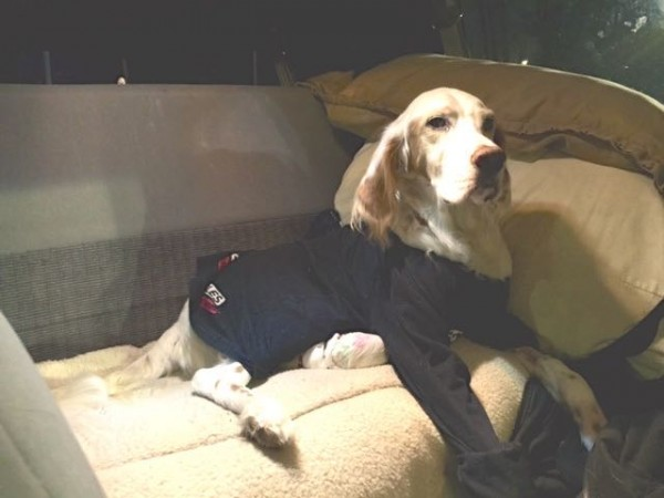 Bromont had the full back seat, but came up to the front and did his lap dog thing instantly.  We got him a long sleeve t-shirt at a thrift store in Fort Collins to stop him from licking.