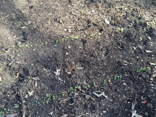 The early season vegetables are already up.