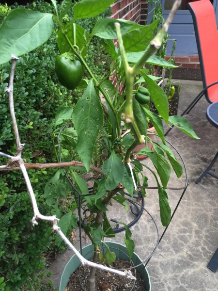 We've had this green pepper plant for 4 years now. We used to plant it back outside in the garden, but now just leave it in its pot and move it back inside in the winter. It still produces peppers. Weird.