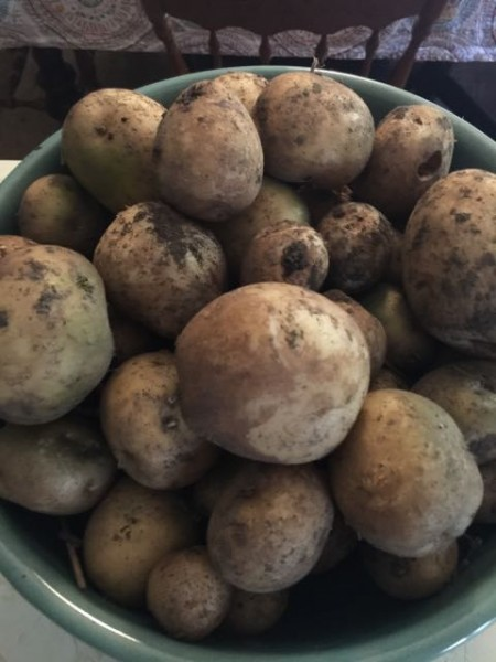 Trudi dug up a bunch of potatoes yesterday after riding. I though they would all be bigger.