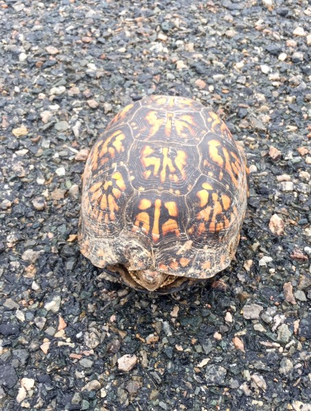 I found this box turtle out riding. I've never seen a box turtle with orange markings. In Kansas, they are greeen and yellow.