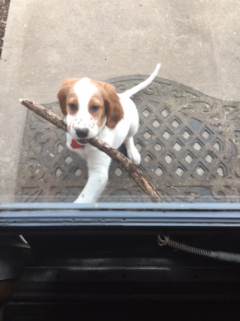 Tucker is still a little mixed up on how to get the big sticks in their the pet door.