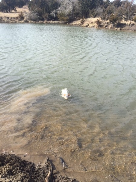 We took Tucker out to the country and this was his first encounter with a pond or lake.  He did a little sniffing around, walked up the bank, turned around and ran full speed into it and started swimming out.  He soon realized he didn't have any idea what he was doing, turned around and swam back to the shore.