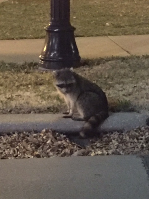 I saw this guy just hanging out a couple nights ago.