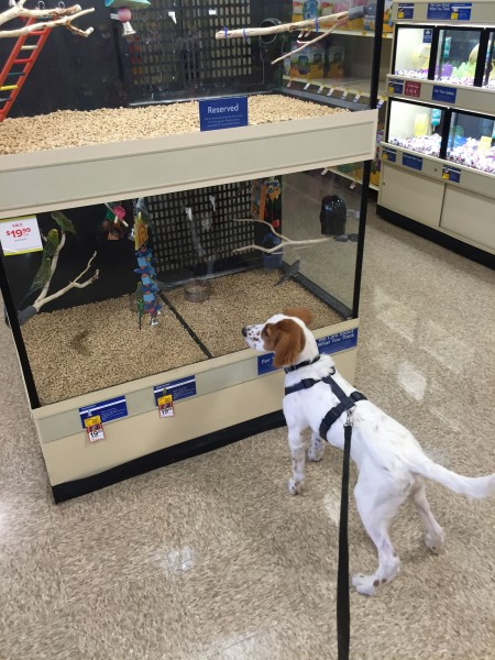 We stopped at a Petsmart to get Tucker a chew toy.  He was fascinated by the birds of course.