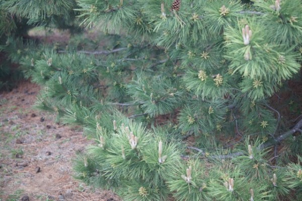 He took a picture of the pine needle bed.