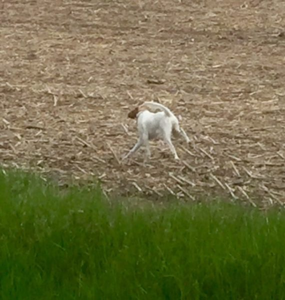Tucker seemed all legs yesterday in a corn field in Central Iowa we stopped at. He likes chasing birds some to stretch his legs.
