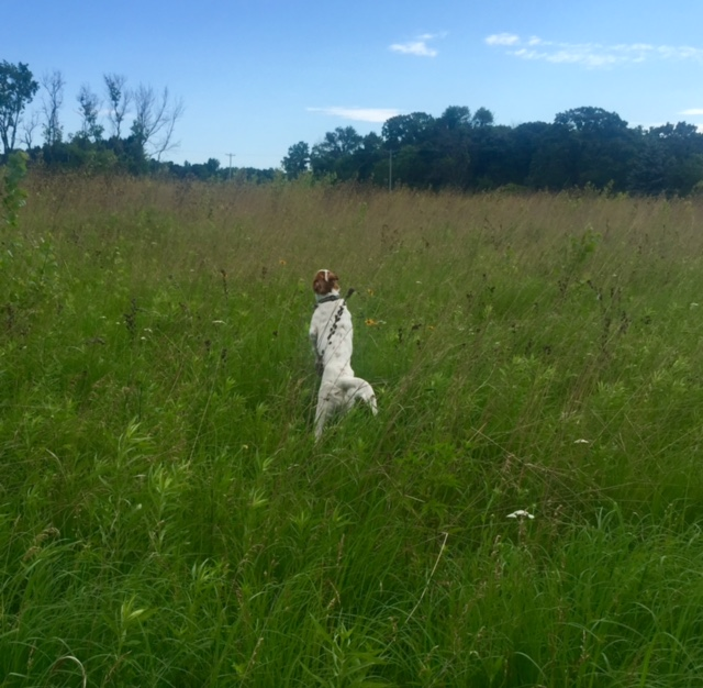 Tucker jumping through tall grass this morning.