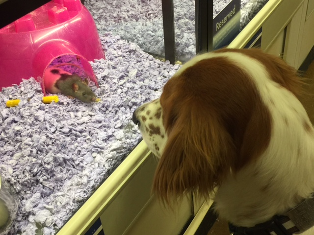 Tucker was way interested in this rat at the pet store yesterday.