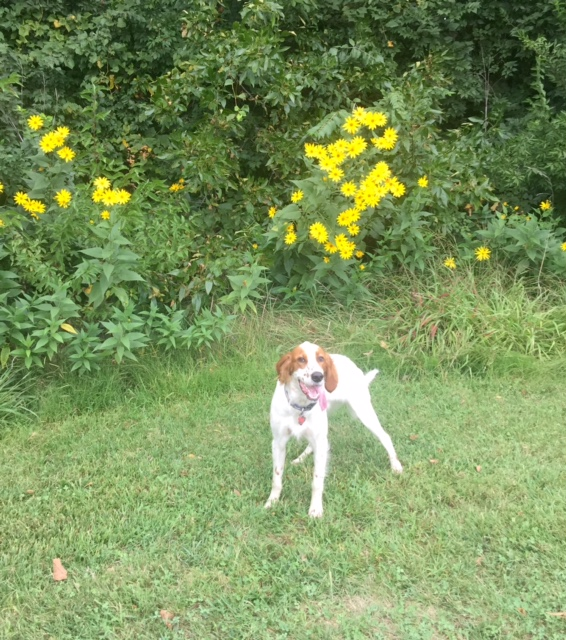 Tucker, all hot, posing in front of some sunflowers at a park down the street. It is a big sunflower year here in Kansas. Lots of late summer rain.