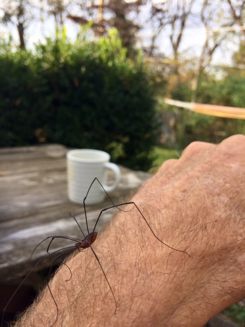This guy crawled around my arm for a few minutes yesterday. I like most spiders, especially these guys.