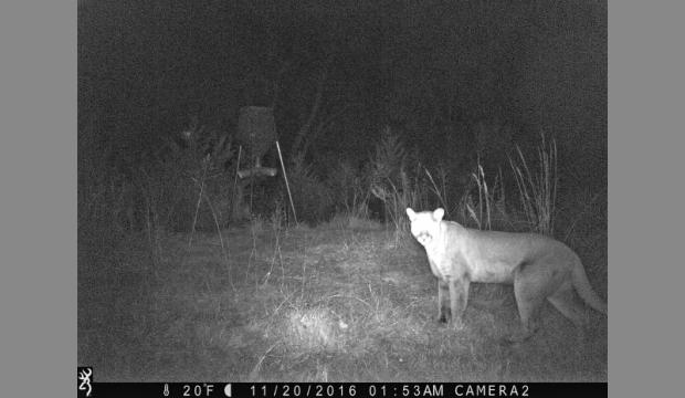 On a happier note, a hunter's trail camera filmed a mountain lion in Shawnee County, where I live. This is the first photoed mountain lion near Topeka. They are very stealthy and shy.